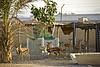 Omani gazelles on the farm.