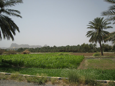 Crop field on the Batinah Plain.