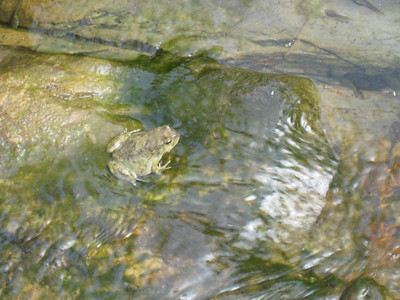 Frog in one of the ponds in Snake Gorge.