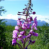 Yukon Fireweed --<br /> Official flower of the Yukon