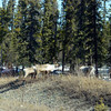 Caribou! --<br /> About a dozen of 'em in the road, just chillin' out and crossing the road