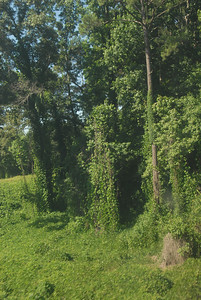 Kudzu vines, an import from Japan to combat soil erosion, but now an utter menace.  It's everywhere!