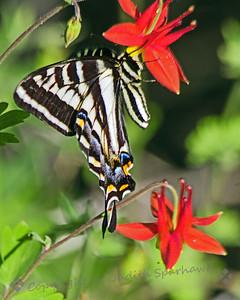 Pale Swallowtail on Columbine