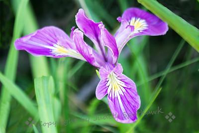 Iris Solo