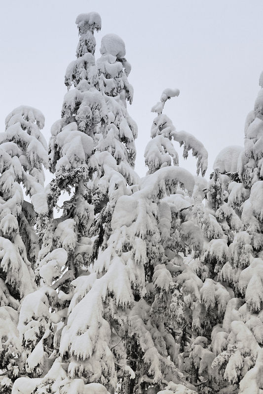Snow laden trees - taken from moving vehicle.