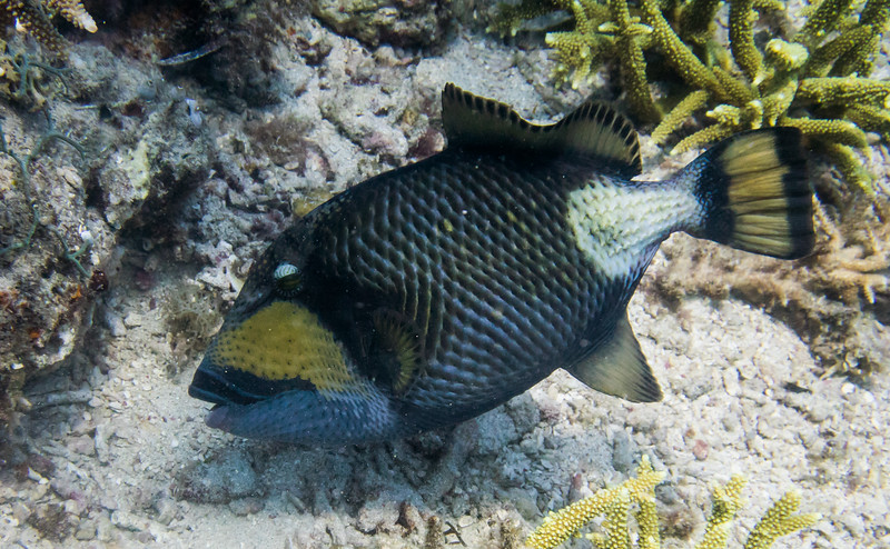 And our triggerfish is fun, but has a bit of a temper sometimes