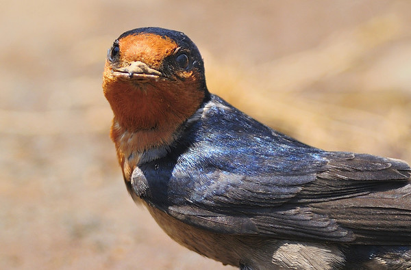 What a look...!!, Barn Swallow