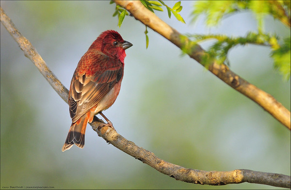 Common Rose Finch