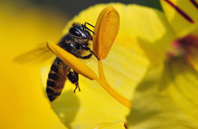 Bees, one of the most recognized pollinators..., a very integral part of the eco-system....