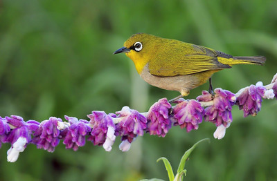 A delicate walk on the ramp....Oriental White Eye....