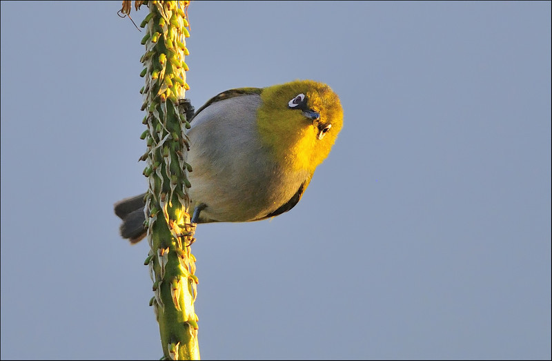 Quite an angry look.....Oriental White Eye....