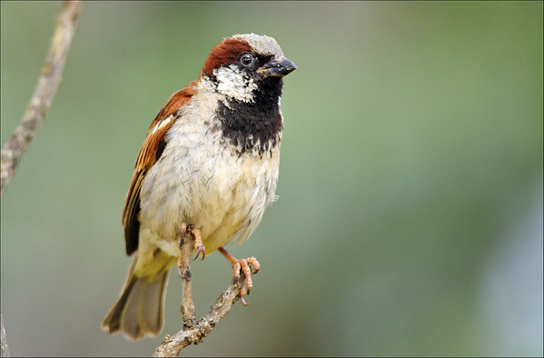 House Sparrow ( male )