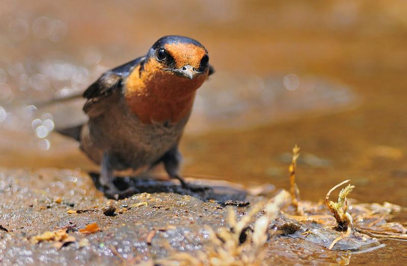Curious little Barn Swallow