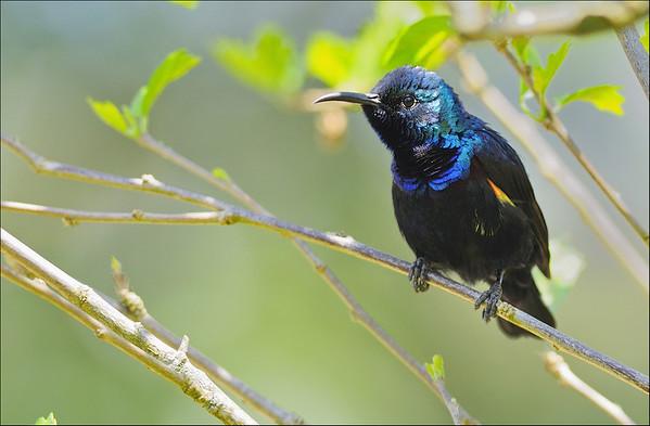 Purple Sunbird...