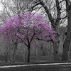 "<span id=""title"">Purple Tree</span> <em>Hanscom Park, Omaha</em> I did some selective color to make this a compelling photo, but in real life it really did stand out. A splash of purple in a sea of green and gray."