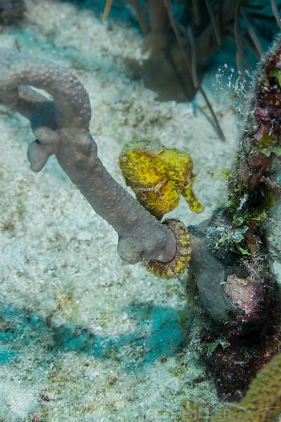 Seahorse - Topaz Reef