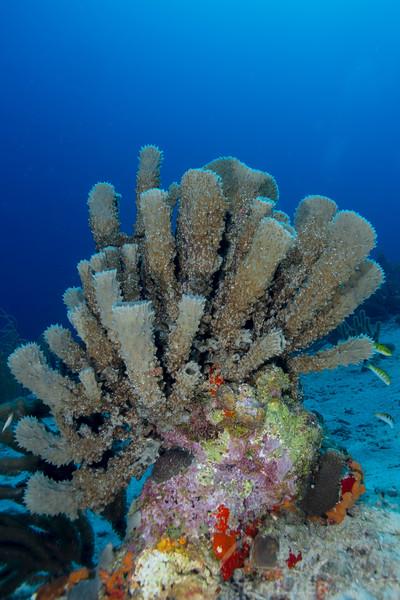 Coral Head - Topaz Reef