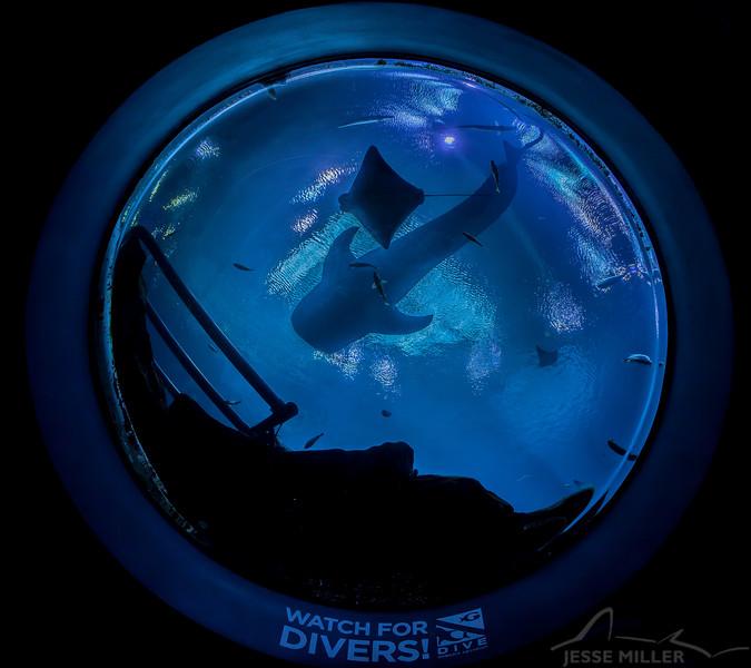 Whale Shark - Georgia Aquarium