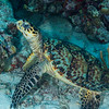 Hawksbill Sea Turtle - Balashi Reef