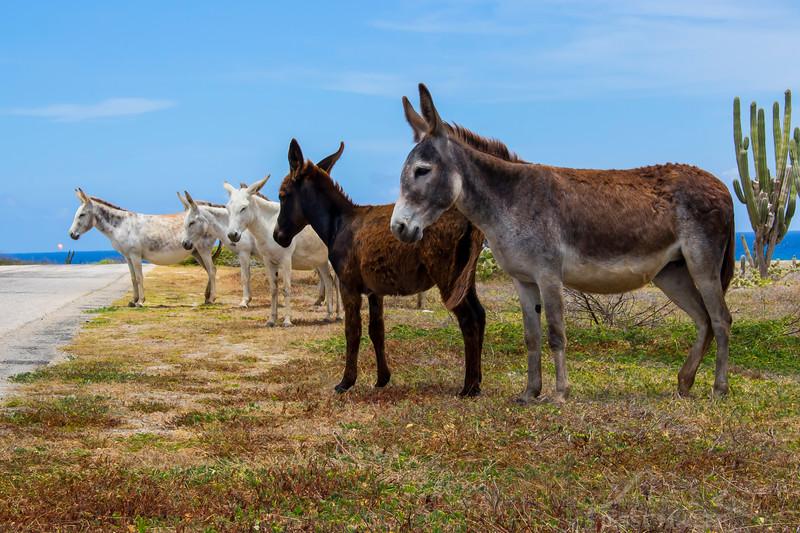 Donkeys Near Baby Beach