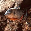 Piranha - Georgia Aquarium