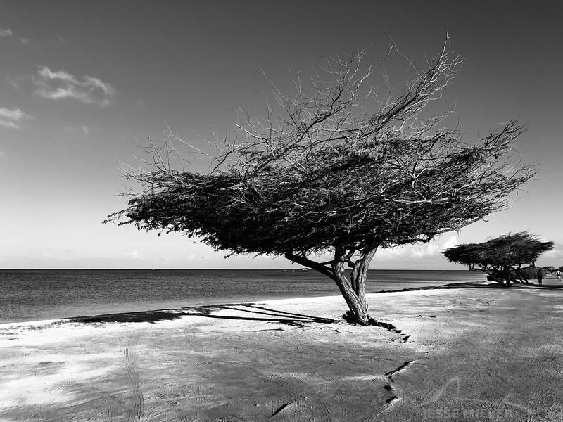 Random Tree Near the Ritz in Aruba