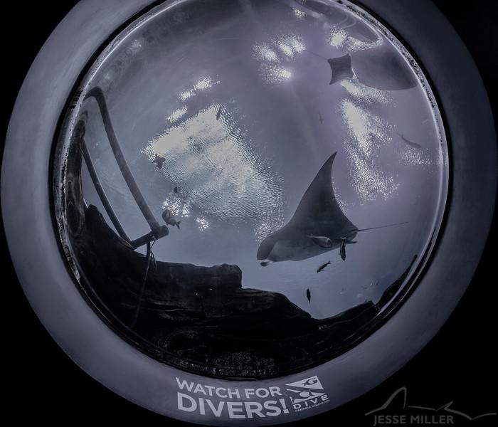 Manta Ray - Georgia Aquarium