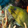 Green Moray Eel - Balashi Reef