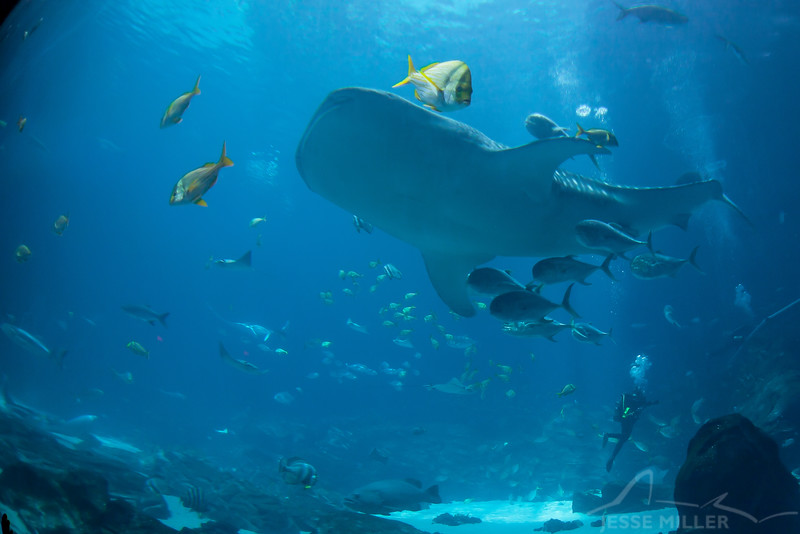 Whale Shark - Georgia Aquarium