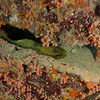 Green Moray Eel - Topaz Reef