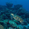 Hawksbill Sea Turtle - Balashi Reef