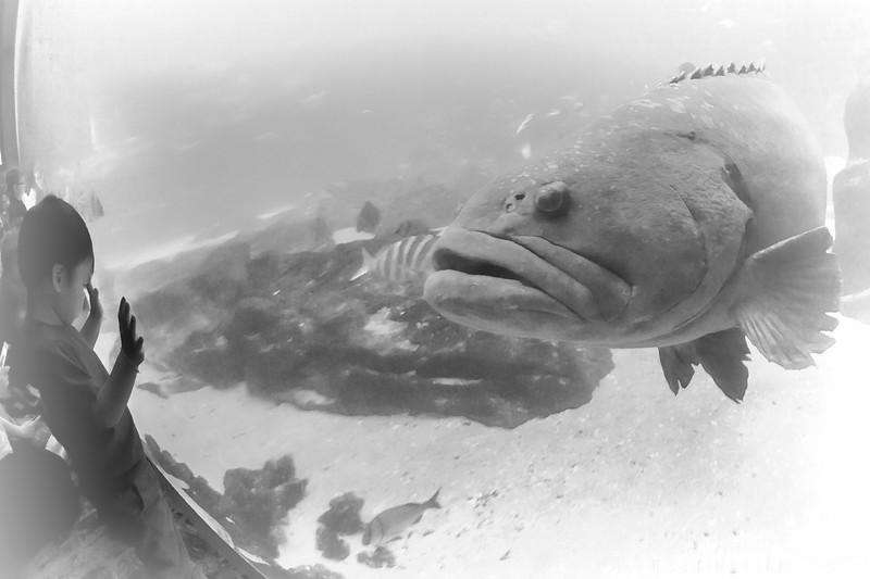 Grouper - Georgia Aquarium