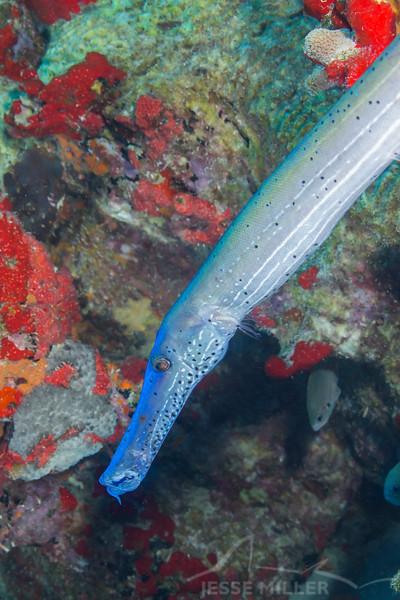Trumpetfish - Balashi Reef