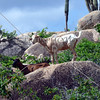 Goats climb the rocks at the Arikok National Park in the Caribbean island of Aruba.
