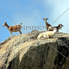 Goats climb and rest on top of the rocks at the Arikok National Park in the Caribbean island of Aruba.