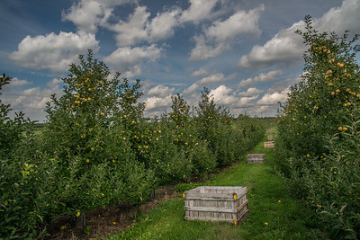 Golden delicious ready for harvest, I can say with certainty they are sweet as they come.