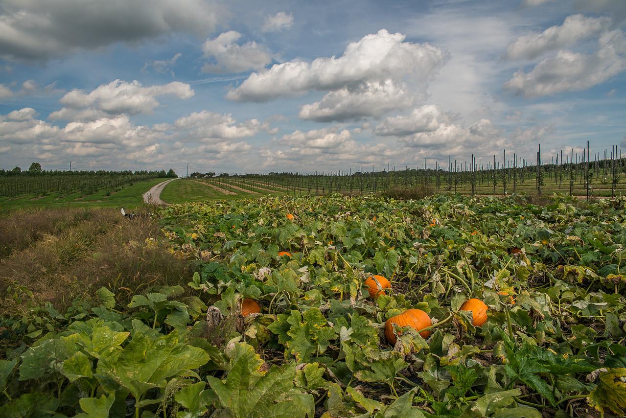 Pumpkin patch ready to pick..