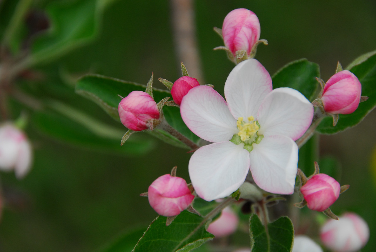 Apple Blossum time is usually the first week of May