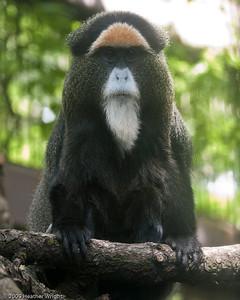 DeBrazza's Guenon