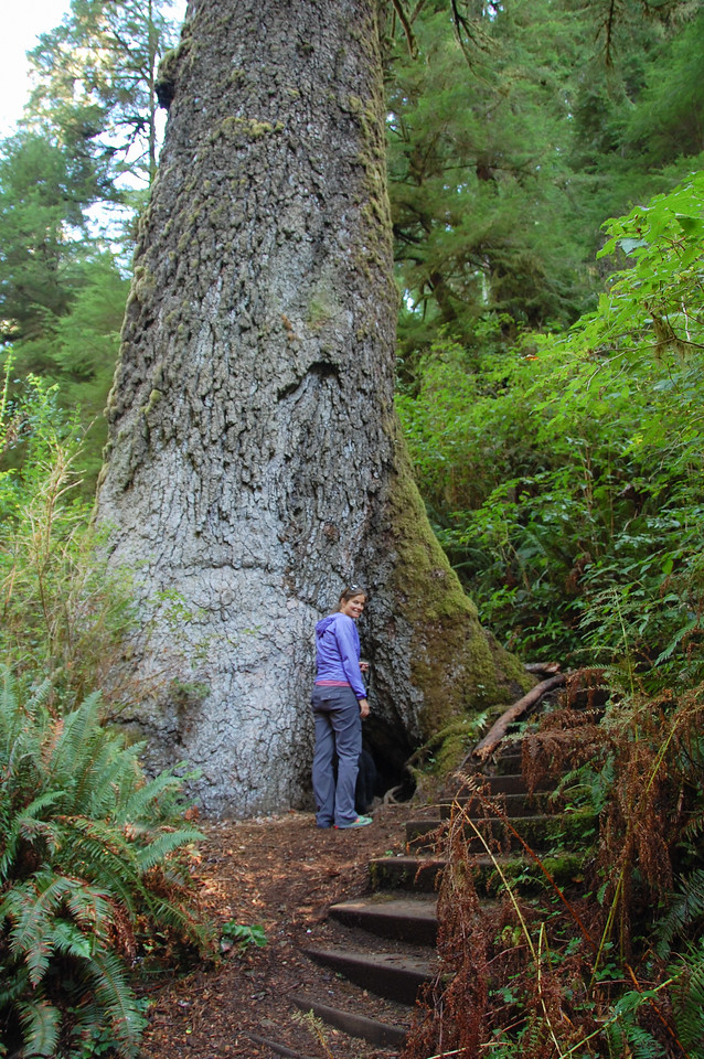 Giant Spruce of Cape Perpetua.  ~550 years old.  40 foot circumference.