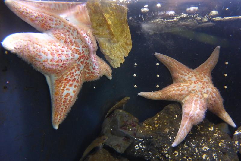 huge starfish