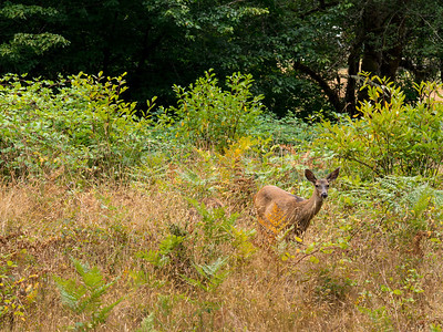 Columbia Black-tailed deer