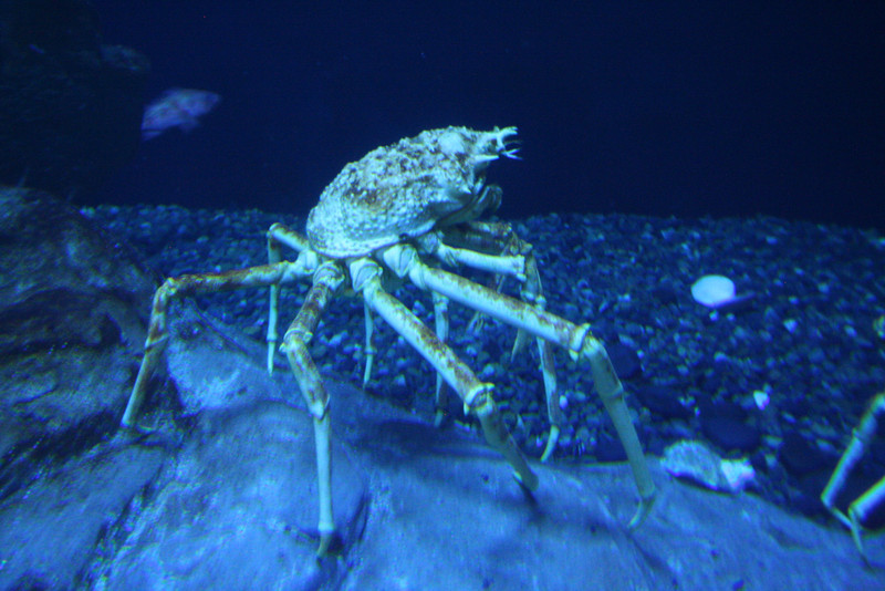 Yikes!  A spider crab!  (Totally creepy!)