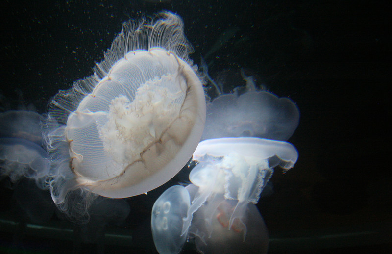 I've always been amazed by how fragile jellyfish look, but how tough they really are.