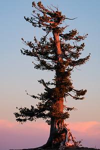 Sunset upon Crater Lake tree