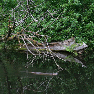 Beaver at upper pond, Bandon Fish Hatchery, Oregon.