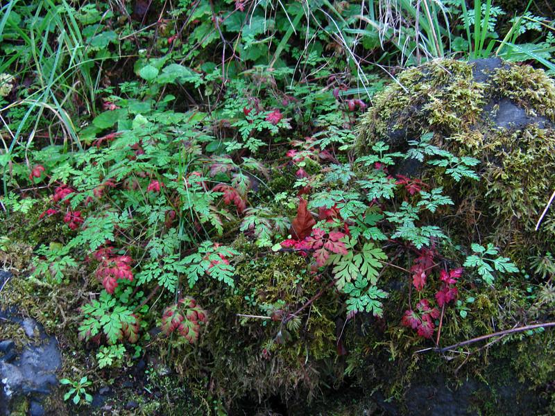 Ferns at Multnomah Falls