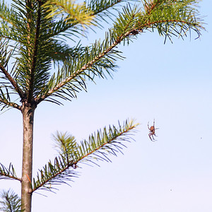 Small Pine and Spider