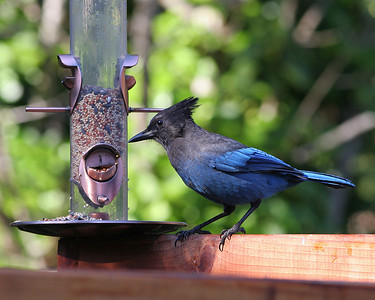9665 Stellars Jay at Feeder