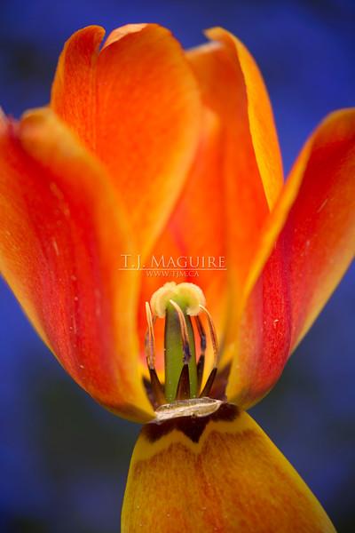 Tulip, Oregon Coast